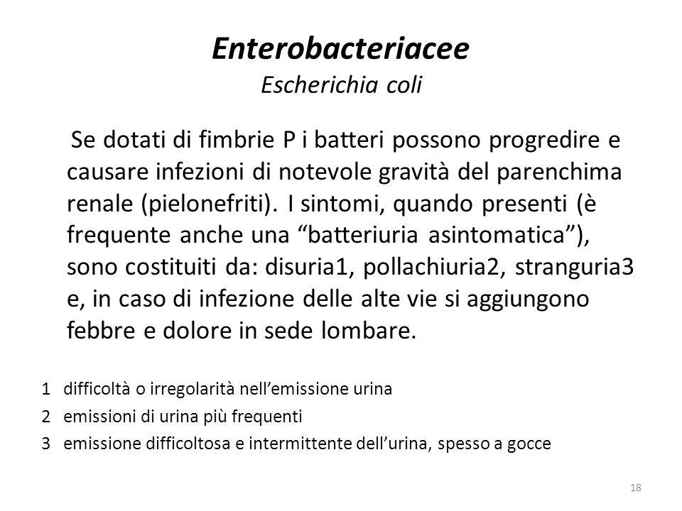 18 Enterobacteriacee Escherichia coli Se dotati di fimbrie P i batteri possono progredire e causare infezioni di notevole gravità del parenchima renale (pielonefriti).