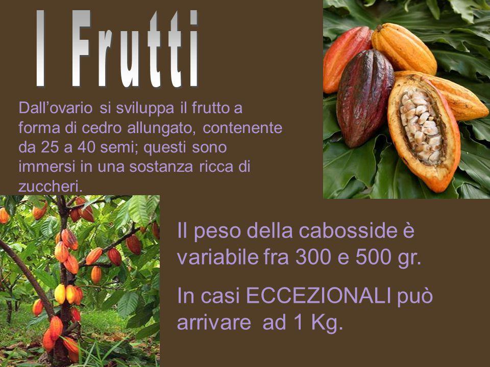 Dall'ovario si sviluppa il frutto a forma di cedro allungato, contenente da 25 a 40 semi; questi sono immersi in una sostanza ricca di zuccheri.