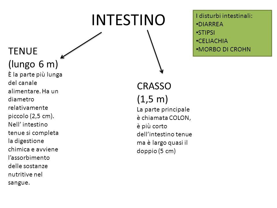 INTESTINO TENUE (lungo 6 m) È la parte più lunga del canale alimentare. Ha un diametro relativamente piccolo (2,5 cm). Nell' intestino tenue si comple