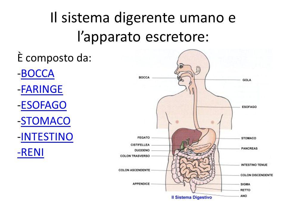 Il sistema digerente umano e l'apparato escretore: È composto da: -BOCCABOCCA -FARINGEFARINGE -ESOFAGOESOFAGO -STOMACOSTOMACO -INTESTINOINTESTINO -REN