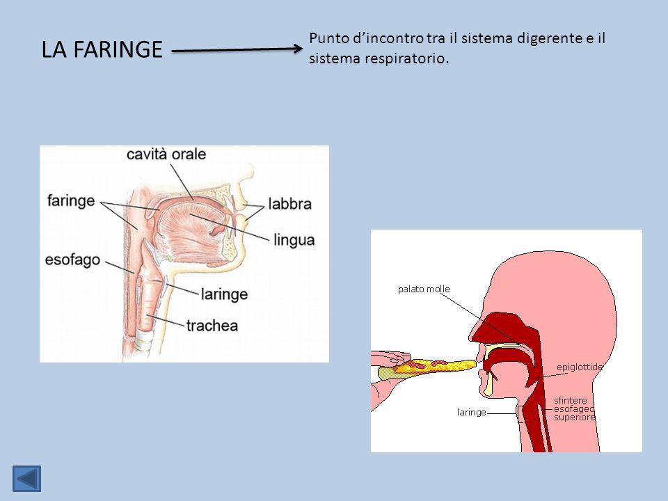 LA FARINGE Punto d'incontro tra il sistema digerente e il sistema respiratorio.