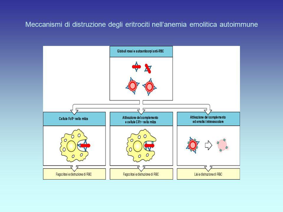 Meccanismi di distruzione degli eritrociti nell'anemia emolitica autoimmune