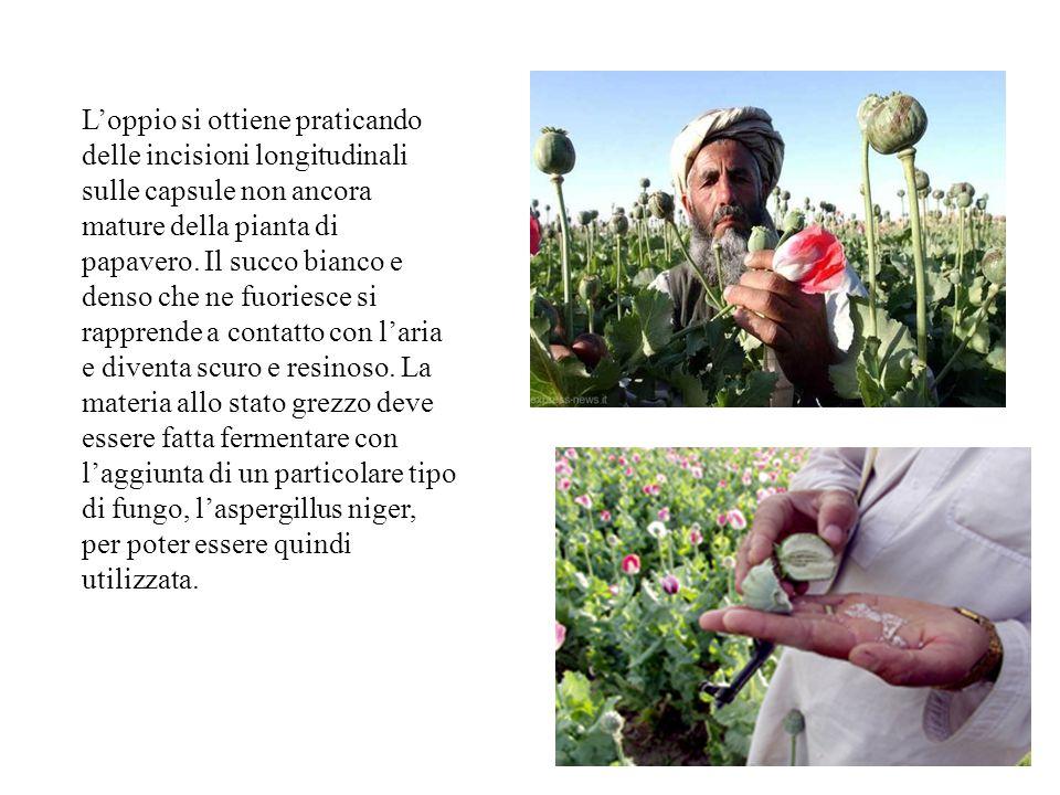 L'oppio si ottiene praticando delle incisioni longitudinali sulle capsule non ancora mature della pianta di papavero. Il succo bianco e denso che ne f