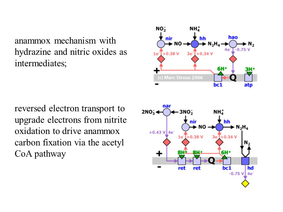 anammox mechanism with hydrazine and nitric oxides as intermediates; reversed electron transport to upgrade electrons from nitrite oxidation to drive