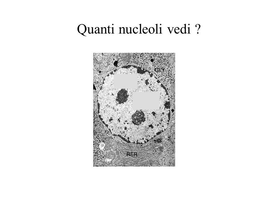 Quanti nucleoli vedi ?