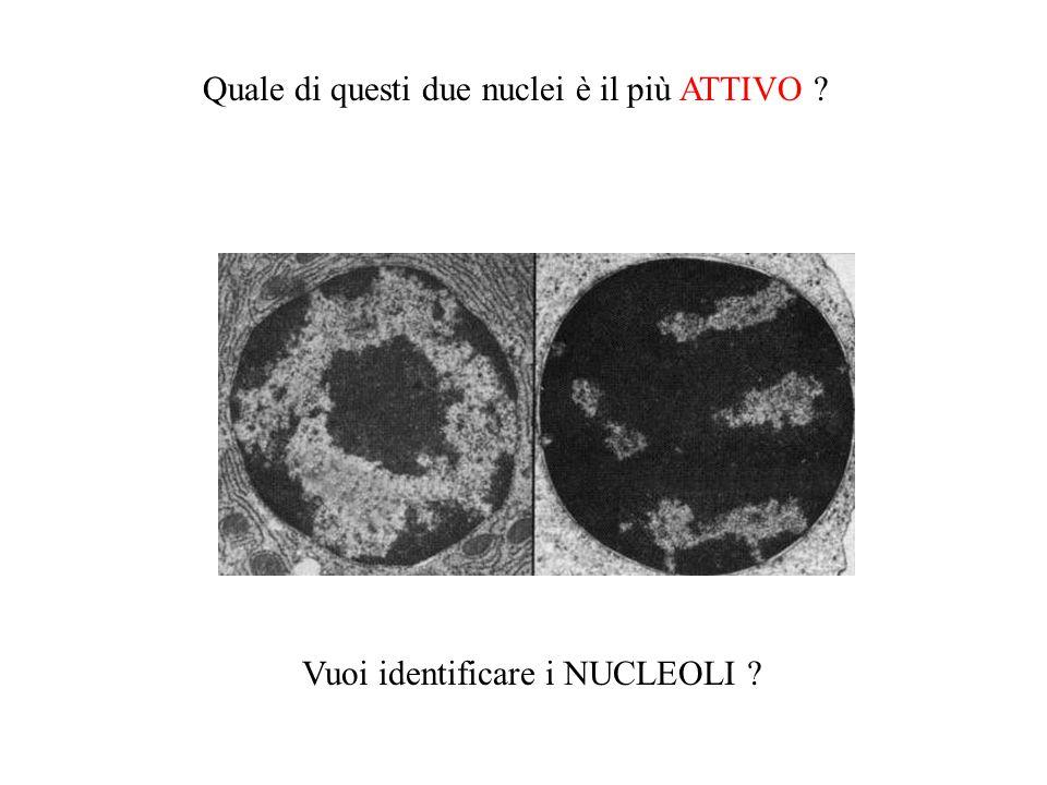 Quale di questi due nuclei è il più ATTIVO ? Vuoi identificare i NUCLEOLI ?