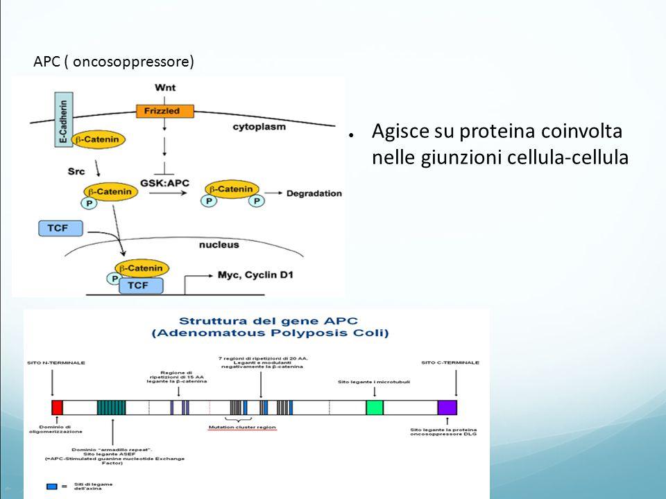 02/04/2015 APC ( oncosoppressore) ● Agisce su proteina coinvolta nelle giunzioni cellula-cellula