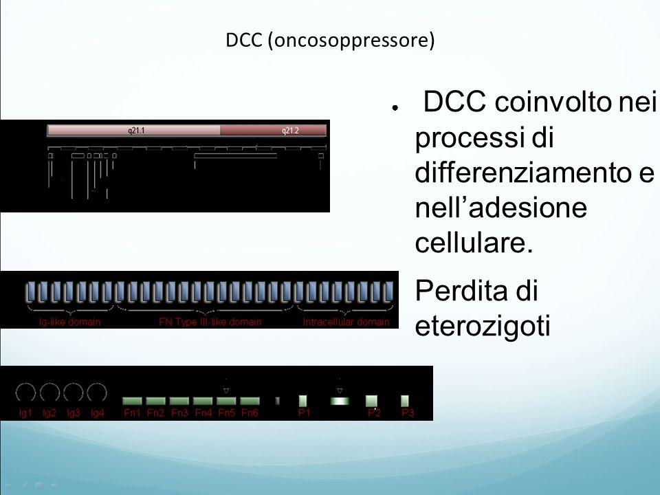 DCC (oncosoppressore) ● DCC coinvolto nei processi di differenziamento e nell'adesione cellulare. ● Perdita di eterozigoti