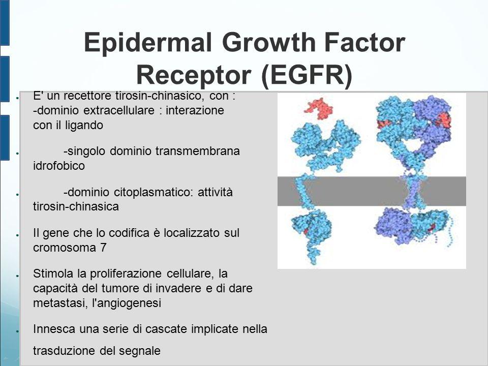 Epidermal Growth Factor Receptor (EGFR) ● E' un recettore tirosin-chinasico, con : -dominio extracellulare : interazione con il ligando ● -singolo dom