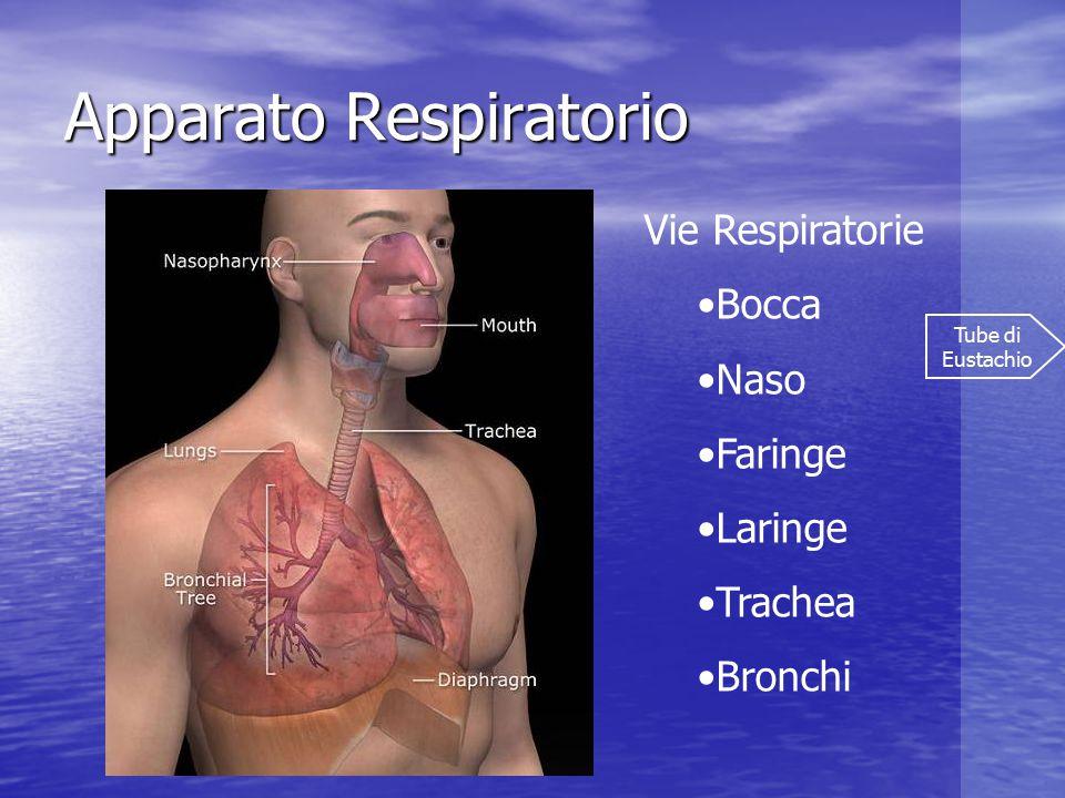 Apparato respiratorio Vie Respiratorie Bronchi Bronchioli Alveoli