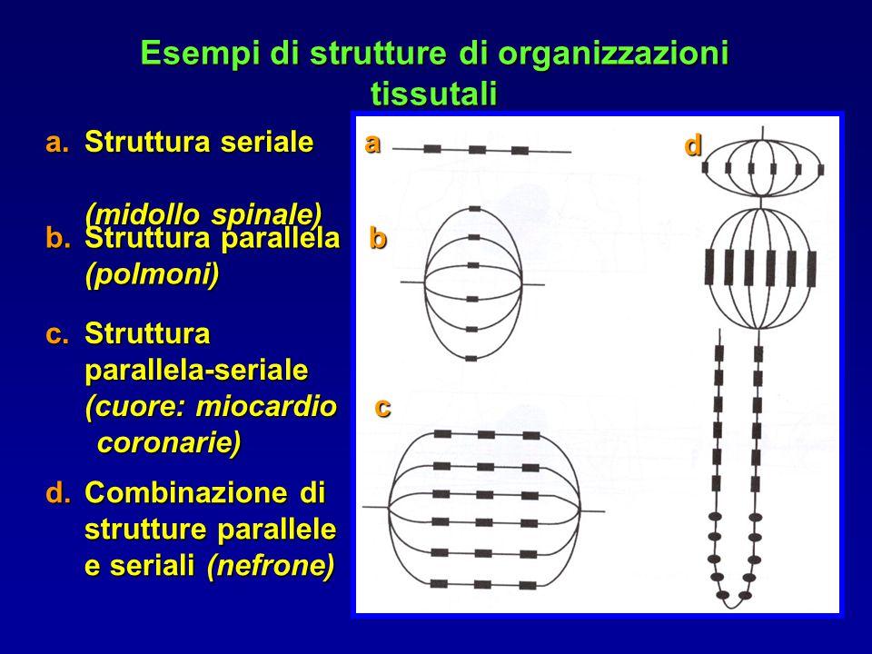 a.Struttura seriale a (midollo spinale) b.Struttura parallela b (polmoni) c.Struttura parallela-seriale (cuore: miocardio c coronarie) coronarie) d d.Combinazione di strutture parallele e seriali (nefrone) Esempi di strutture di organizzazioni tissutali