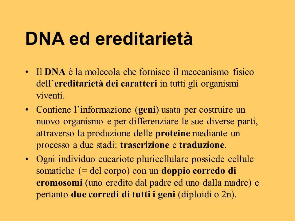 DNA ed ereditarietà Il DNA è la molecola che fornisce il meccanismo fisico dell'ereditarietà dei caratteri in tutti gli organismi viventi. Contiene l'
