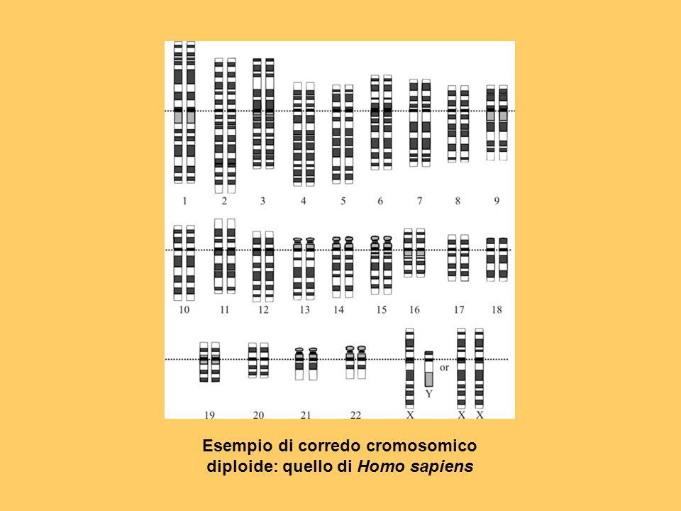 Esempio di corredo cromosomico diploide: quello di Homo sapiens