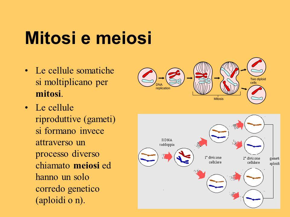 Mitosi e meiosi Le cellule somatiche si moltiplicano per mitosi. Le cellule riproduttive (gameti) si formano invece attraverso un processo diverso chi