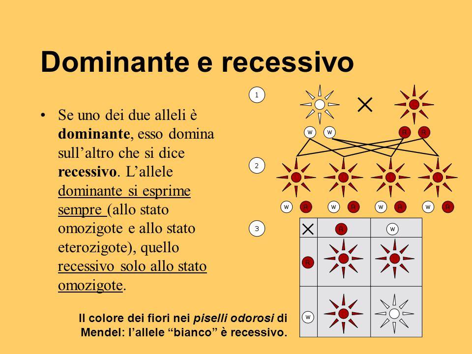 Dominante e recessivo Se uno dei due alleli è dominante, esso domina sull'altro che si dice recessivo. L'allele dominante si esprime sempre (allo stat
