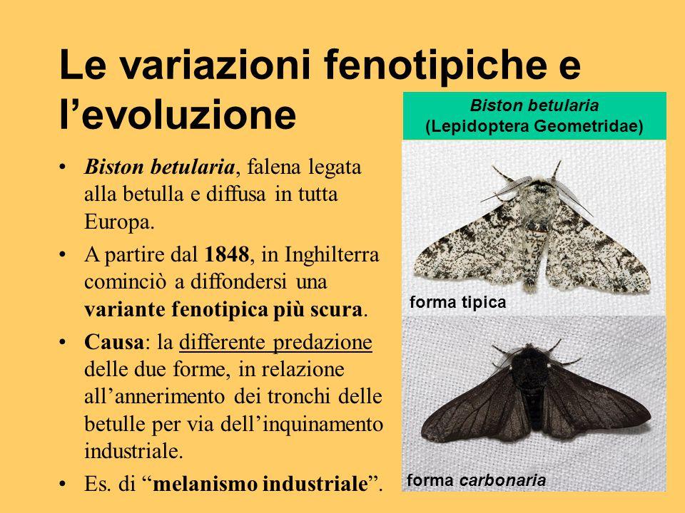 Le variazioni fenotipiche e l'evoluzione Biston betularia, falena legata alla betulla e diffusa in tutta Europa. A partire dal 1848, in Inghilterra co