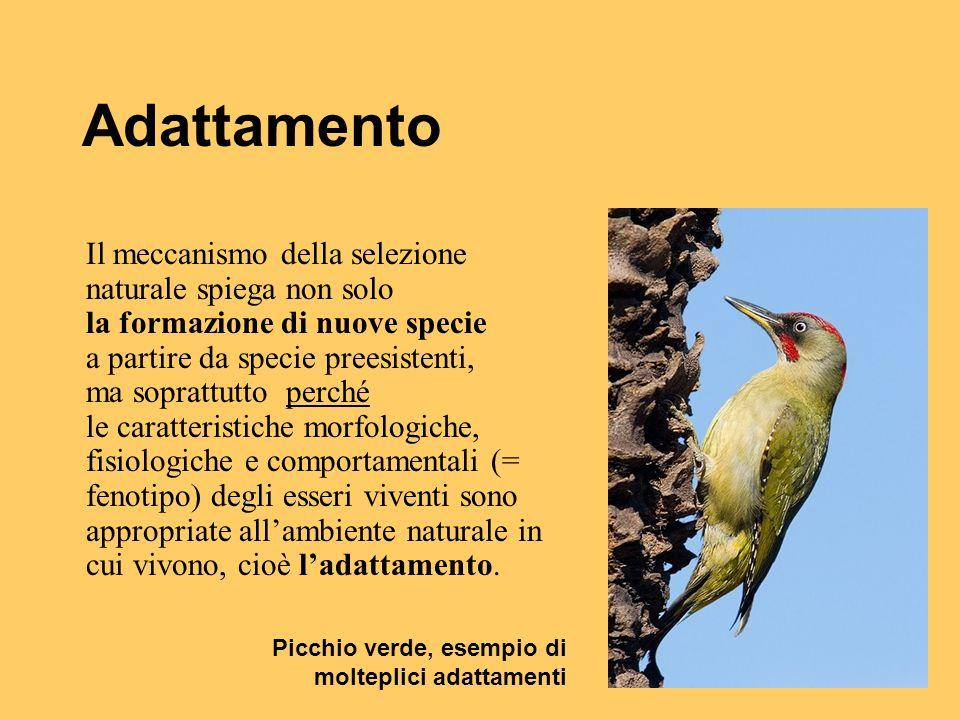 Adattamento Il meccanismo della selezione naturale spiega non solo la formazione di nuove specie a partire da specie preesistenti, ma soprattutto perc