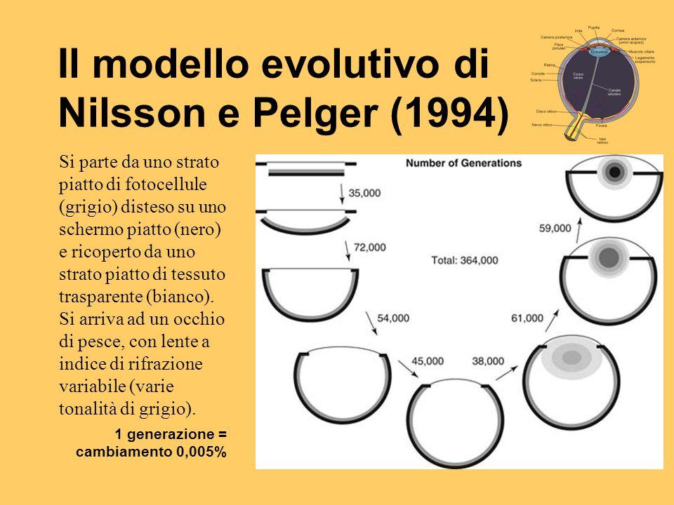 Il modello evolutivo di Nilsson e Pelger (1994) Si parte da uno strato piatto di fotocellule (grigio) disteso su uno schermo piatto (nero) e ricoperto
