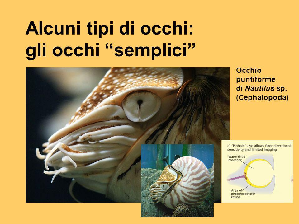 """Alcuni tipi di occhi: gli occhi """"semplici"""" Occhio puntiforme di Nautilus sp. (Cephalopoda)"""