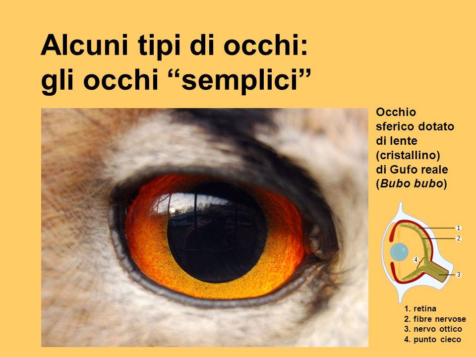 """Alcuni tipi di occhi: gli occhi """"semplici"""" Occhio sferico dotato di lente (cristallino) di Gufo reale (Bubo bubo) 1. retina 2. fibre nervose 3. nervo"""