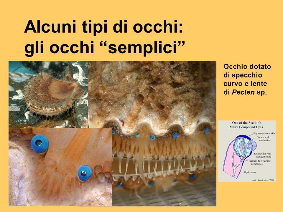 """Alcuni tipi di occhi: gli occhi """"semplici"""" Occhio dotato di specchio curvo e lente di Pecten sp."""