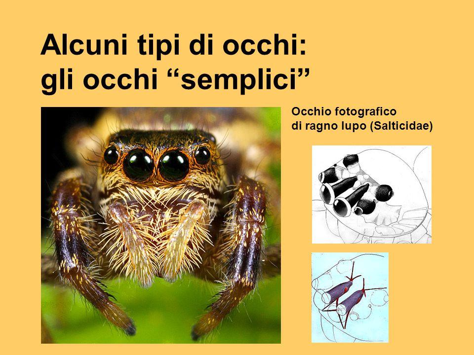 """Alcuni tipi di occhi: gli occhi """"semplici"""" Occhio fotografico di ragno lupo (Salticidae)"""
