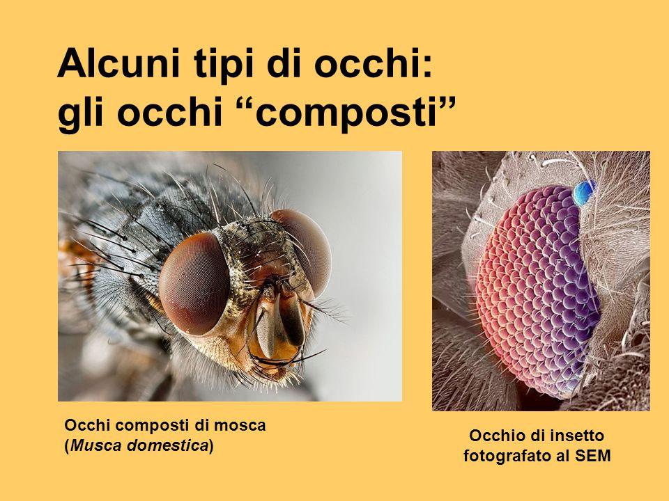 """Alcuni tipi di occhi: gli occhi """"composti"""" Occhi composti di mosca (Musca domestica) Occhio di insetto fotografato al SEM"""