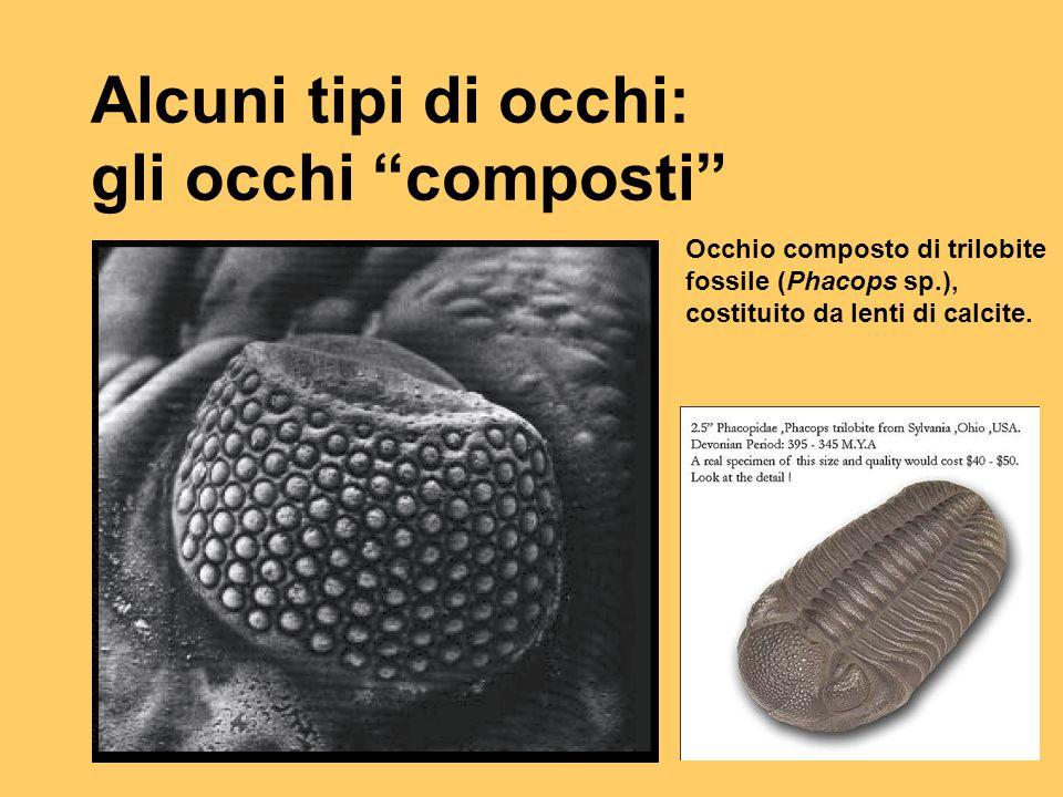 """Alcuni tipi di occhi: gli occhi """"composti"""" Occhio composto di trilobite fossile (Phacops sp.), costituito da lenti di calcite."""