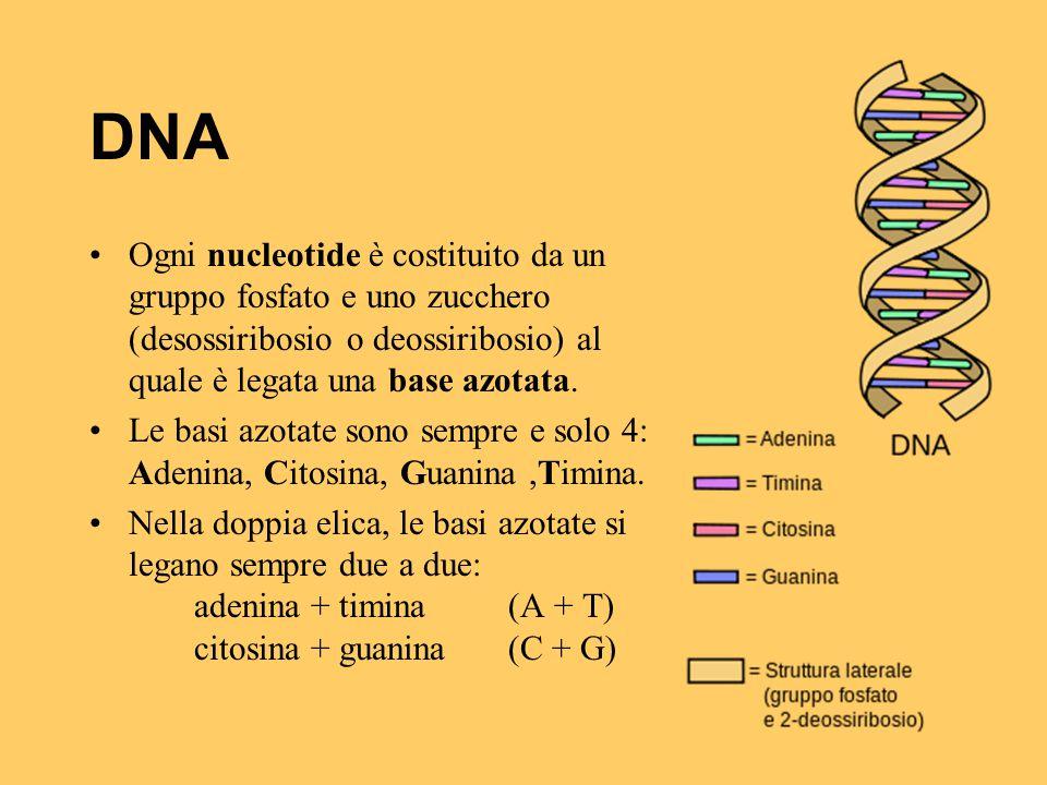 DNA Ogni nucleotide è costituito da un gruppo fosfato e uno zucchero (desossiribosio o deossiribosio) al quale è legata una base azotata. Le basi azot