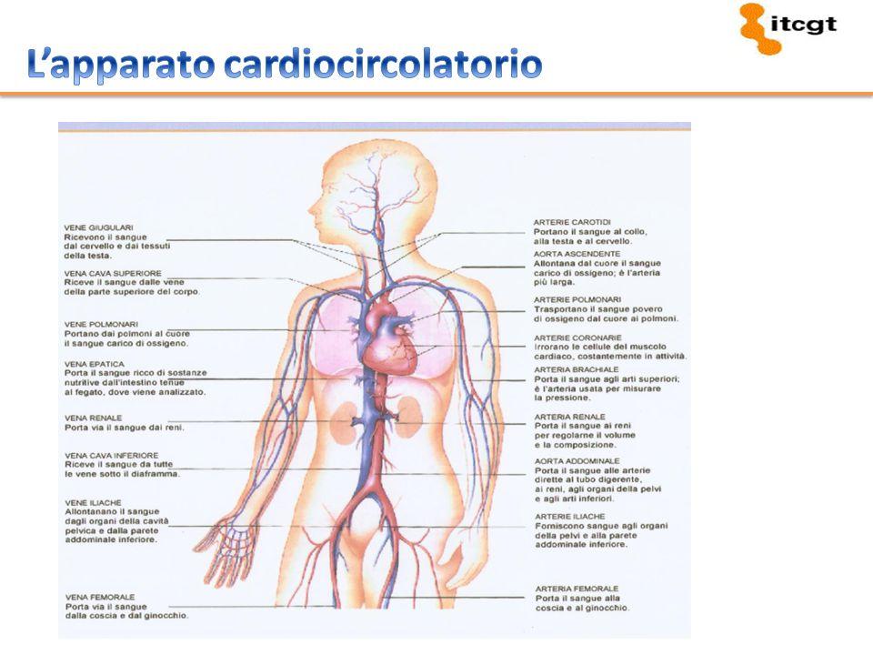 Pericardio Miocardio Endocardio 2 Atri 2 Ventricoli
