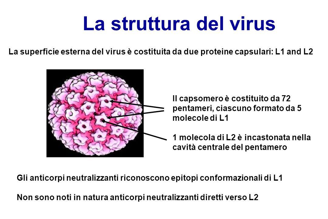 La superficie esterna del virus è costituita da due proteine capsulari: L1 and L2 Il capsomero è costituito da 72 pentameri, ciascuno formato da 5 mol