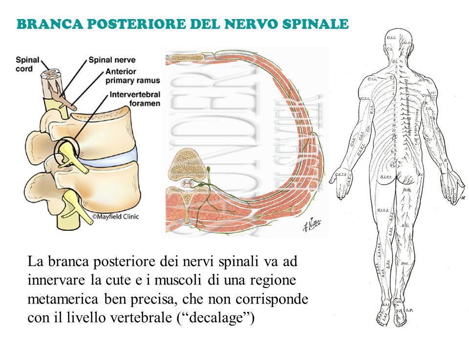 BRANCA POSTERIORE DEL NERVO SPINALE La branca posteriore dei nervi spinali va ad innervare la cute e i muscoli di una regione metamerica ben precisa,