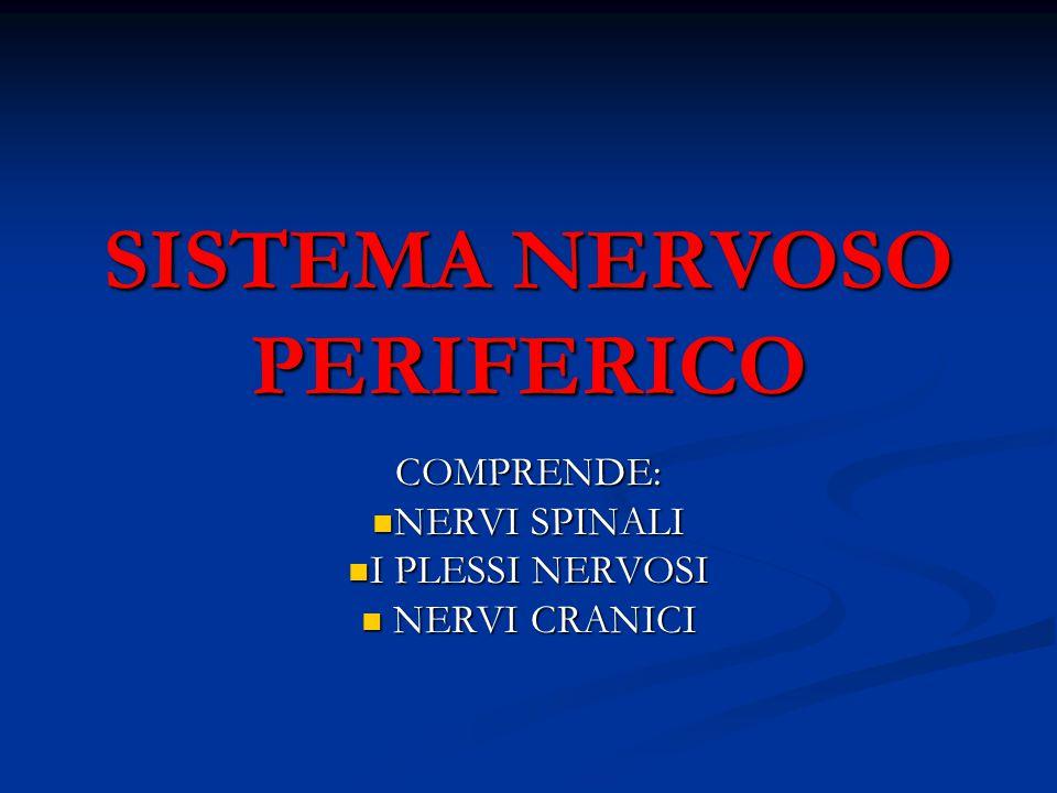 SISTEMA NERVOSO PERIFERICO COMPRENDE: NERVI SPINALI NERVI SPINALI I PLESSI NERVOSI I PLESSI NERVOSI NERVI CRANICI NERVI CRANICI