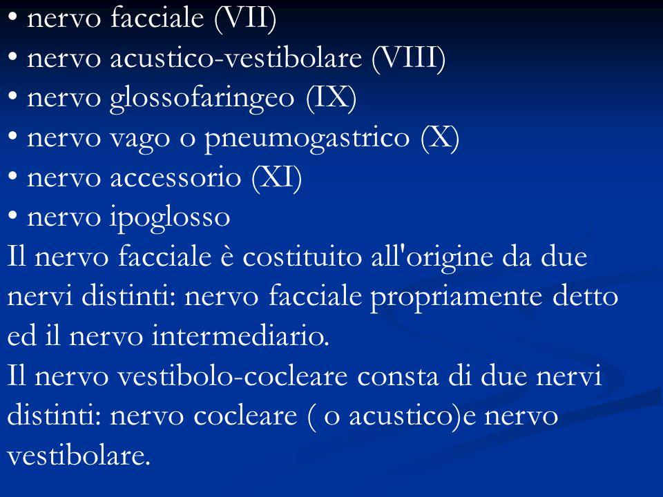 nervo facciale (VII) nervo acustico-vestibolare (VIII) nervo glossofaringeo (IX) nervo vago o pneumogastrico (X) nervo accessorio (XI) nervo ipoglosso Il nervo facciale è costituito all origine da due nervi distinti: nervo facciale propriamente detto ed il nervo intermediario.
