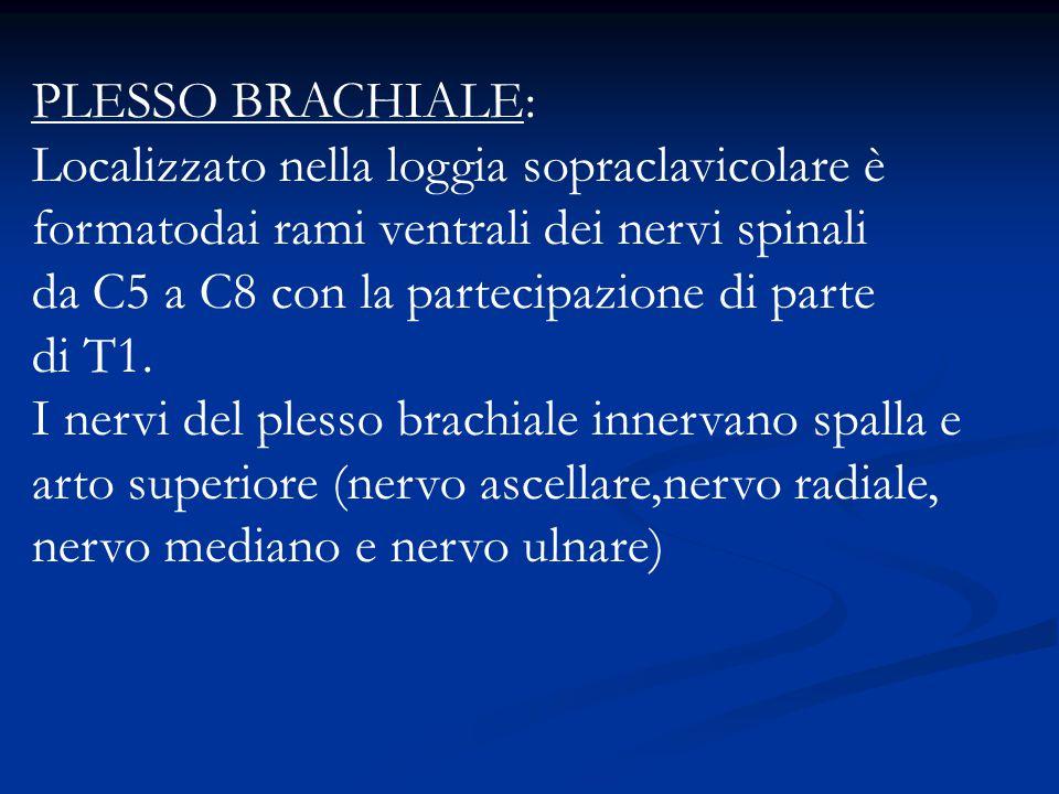PLESSO BRACHIALE: Localizzato nella loggia sopraclavicolare è formatodai rami ventrali dei nervi spinali da C5 a C8 con la partecipazione di parte di T1.
