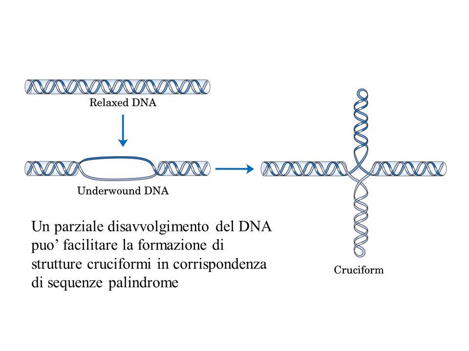 Un parziale disavvolgimento del DNA puo' facilitare la formazione di strutture cruciformi in corrispondenza di sequenze palindrome