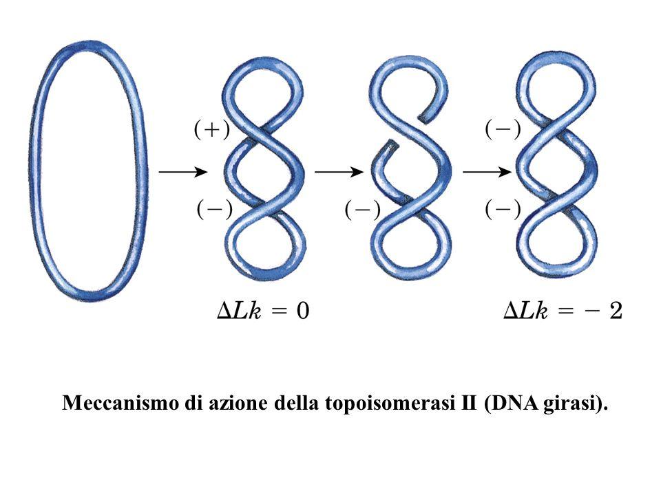 Meccanismo di azione della topoisomerasi II (DNA girasi).