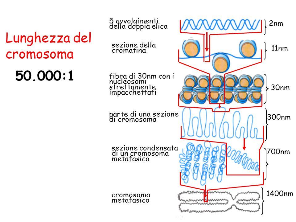 50.000:1 Lunghezza del cromosoma sezione della cromatina 5 avvolgimenti della doppia elica fibra di 30nm con i nucleosomi strettamente impacchettati p