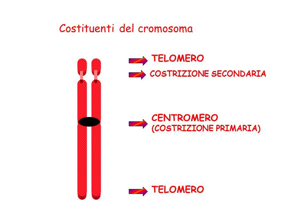TELOMERO CENTROMERO (COSTRIZIONE PRIMARIA) COSTRIZIONE SECONDARIA Costituenti del cromosoma