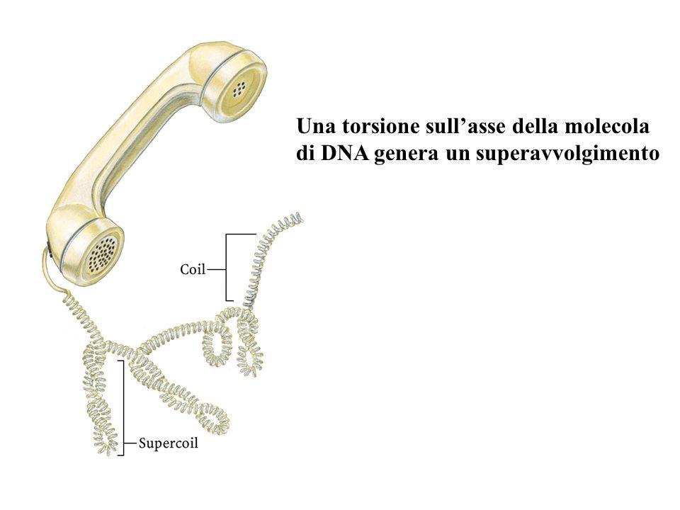 Una torsione sull'asse della molecola di DNA genera un superavvolgimento
