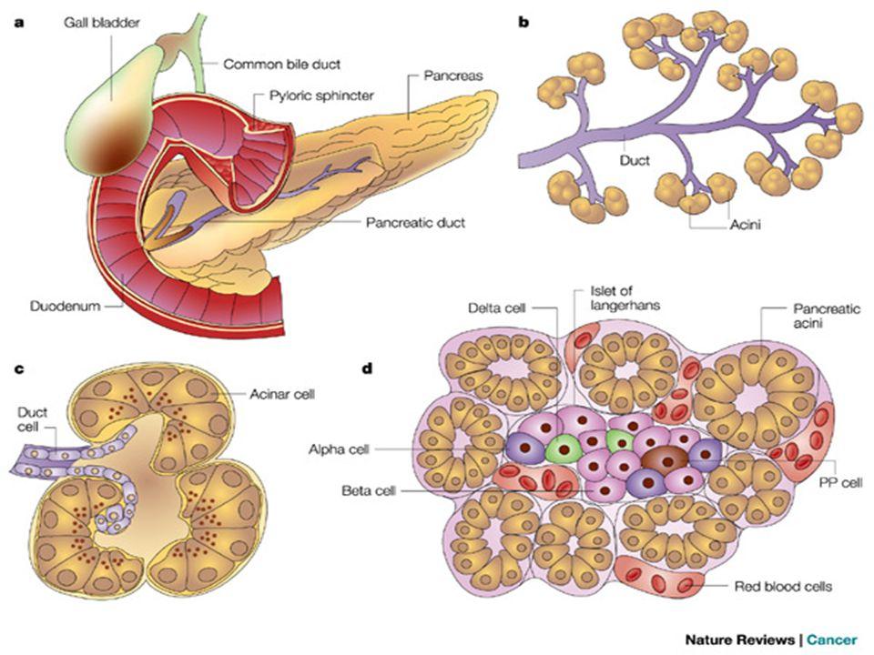 Lobi Pancreas Cellule Acinose 20 differenti enzimi Amilasi Amido Lipasi Grassi Tripsina Duodeno Isole di Langherans