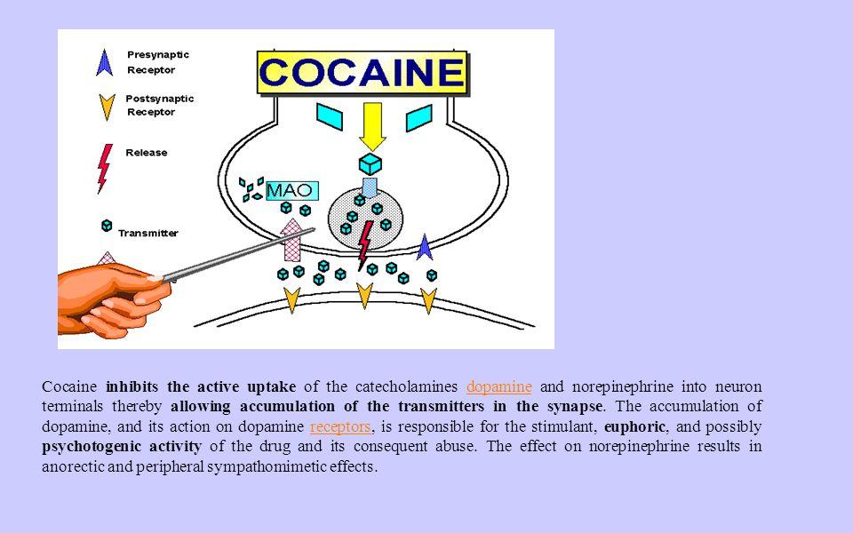 Cocaine inhibits the active uptake of the catecholamines dopamine and norepinephrine into neuron terminals thereby allowing accumulation of the transm