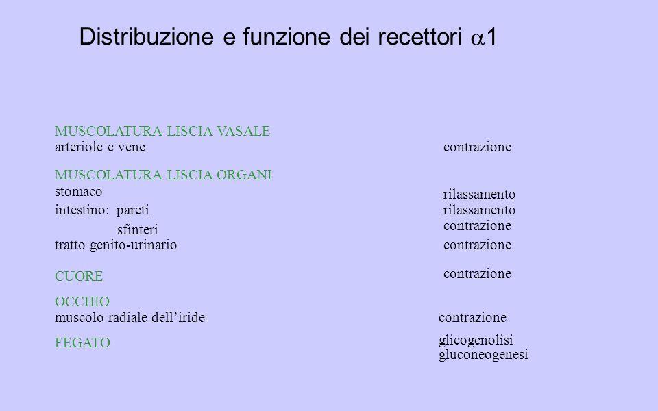 OCCHIO muscolo radiale dell'iridecontrazione MUSCOLATURA LISCIA VASALE arteriole e venecontrazione MUSCOLATURA LISCIA ORGANI stomaco rilassamento intestino: pareti sfinteri rilassamento contrazione tratto genito-urinariocontrazione FEGATO glicogenolisi gluconeogenesi CUORE contrazione Distribuzione e funzione dei recettori  1