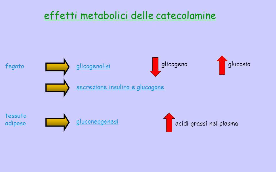 effetti metabolici delle catecolamine glicogenolisi glicogenoglucosio fegato gluconeogenesi acidi grassi nel plasma tessuto adiposo secrezione insulina e glucagone