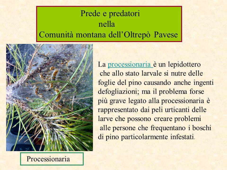 La processionaria è un lepidottero che allo stato larvale si nutre delle foglie del pino causando anche ingenti defogliazioni; ma il problema forse pi