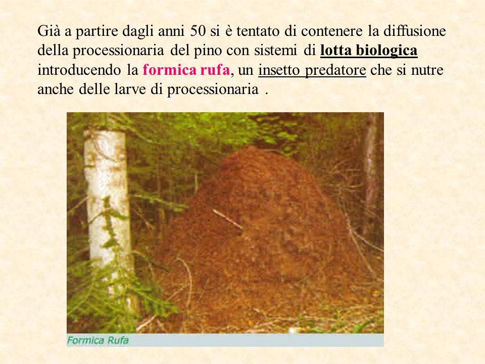 Già a partire dagli anni 50 si è tentato di contenere la diffusione della processionaria del pino con sistemi di lotta biologica introducendo la formica rufa, un insetto predatore che si nutre anche delle larve di processionaria.
