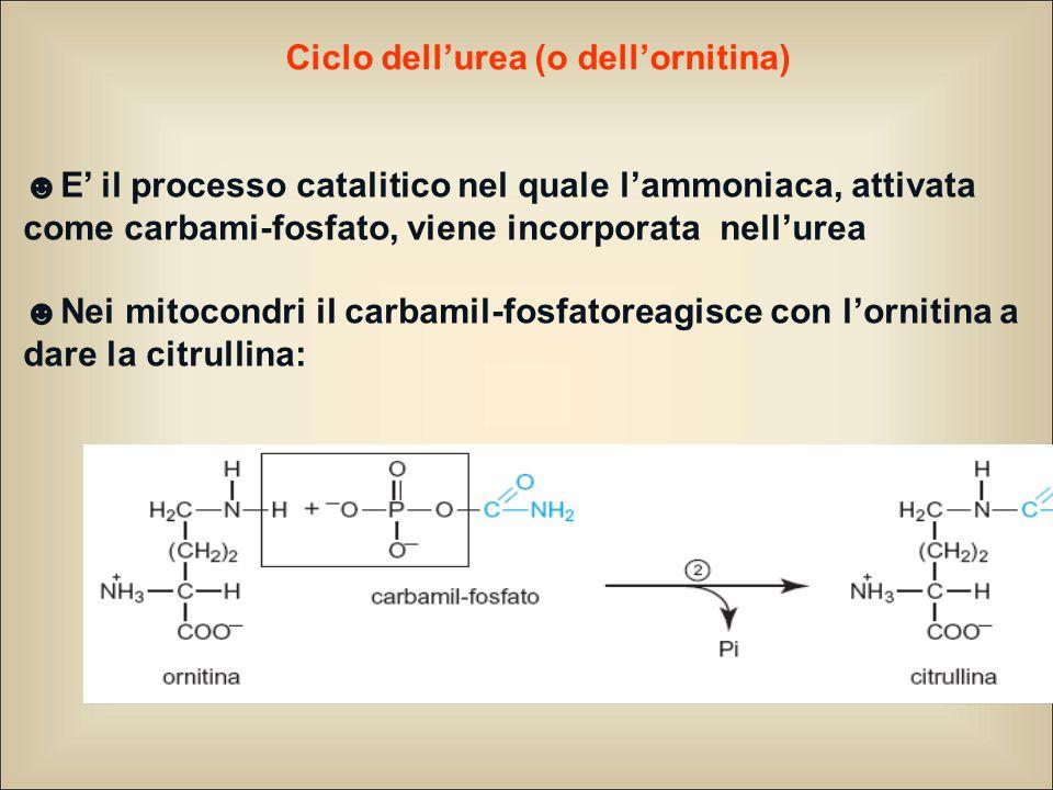 Ciclo dell'urea (o dell'ornitina) ☻E' il processo catalitico nel quale l'ammoniaca, attivata come carbami-fosfato, viene incorporata nell'urea ☻Nei mitocondri il carbamil-fosfatoreagisce con l'ornitina a dare la citrullina: