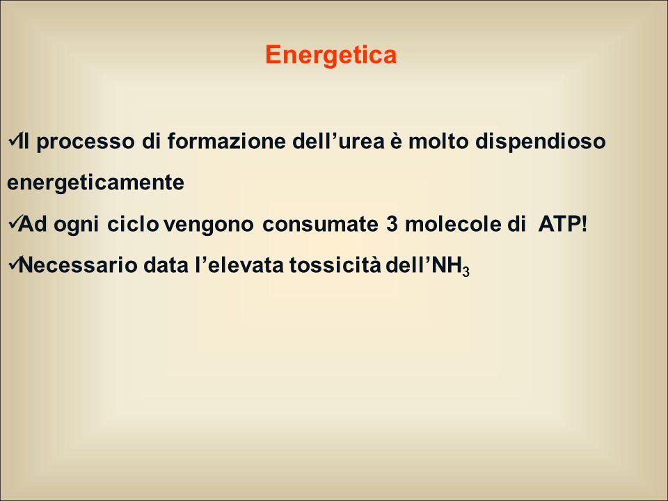 Energetica Il processo di formazione dell'urea è molto dispendioso energeticamente Ad ogni ciclo vengono consumate 3 molecole di ATP.