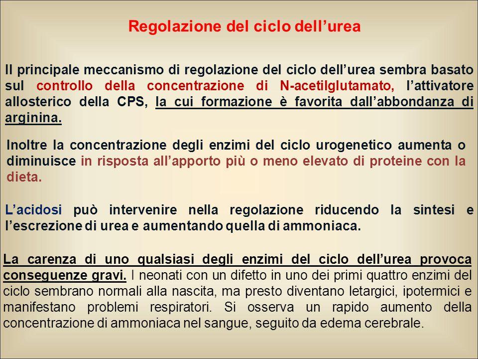 Regolazione del ciclo dell'urea Il principale meccanismo di regolazione del ciclo dell'urea sembra basato sul controllo della concentrazione di N-acetilglutamato, l'attivatore allosterico della CPS, la cui formazione è favorita dall'abbondanza di arginina.