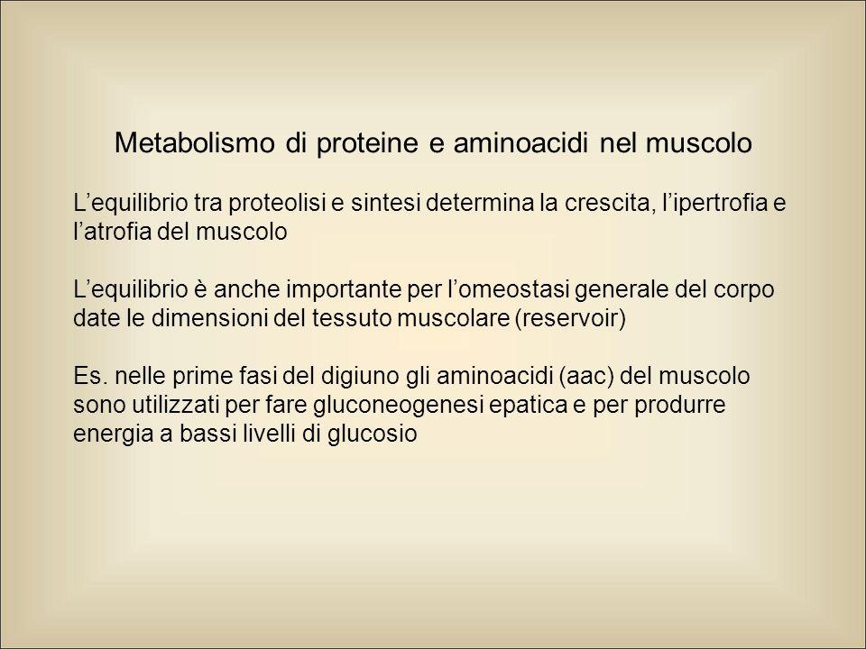 Metabolismo di proteine e aminoacidi nel muscolo L'equilibrio tra proteolisi e sintesi determina la crescita, l'ipertrofia e l'atrofia del muscolo L'equilibrio è anche importante per l'omeostasi generale del corpo date le dimensioni del tessuto muscolare (reservoir) Es.